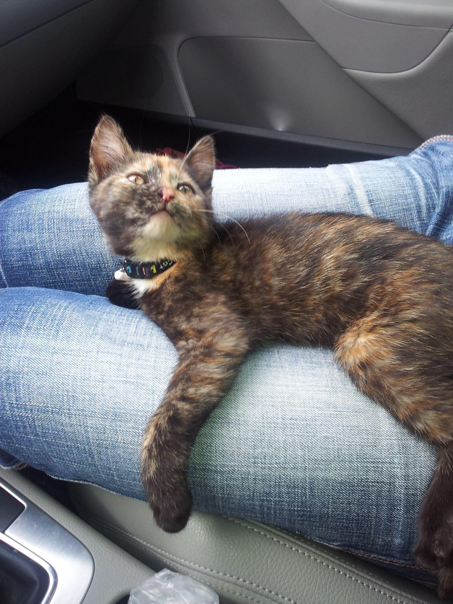 Fundkatze: junge Schildpatt-Katze