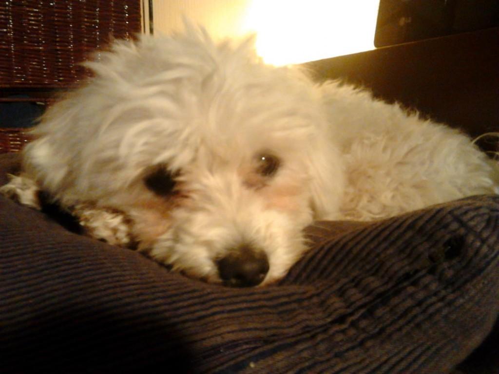 6.6.2012 ENDLICH! - Heute Nacht konnten wir glücklich den letzten der 8 Hunde, die vor 3 Wochen zwischen Hardheim und Vockenrot ausgesetzt wurden, einfangen. Es ist ein kleines Mädchen und sie ist mindestens genauso glücklich wie wir, endlich zur Ruhe kommen zu dürfen. Frisch gebadet liegt sie nun zufrieden in Monis Bett.