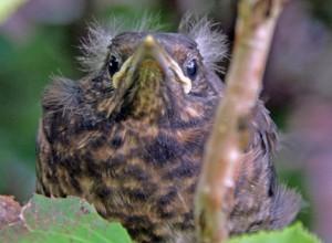 Diese junge Amsel wartet nur auf die Elterntiere und braucht keine Hilfe. © R. Herrmann